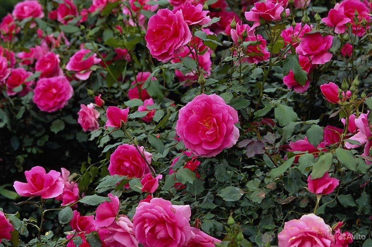 Розы купить в Новосибирской области ...: https://www.avito.ru/novosibirsk/rasteniya/rozy_573748420