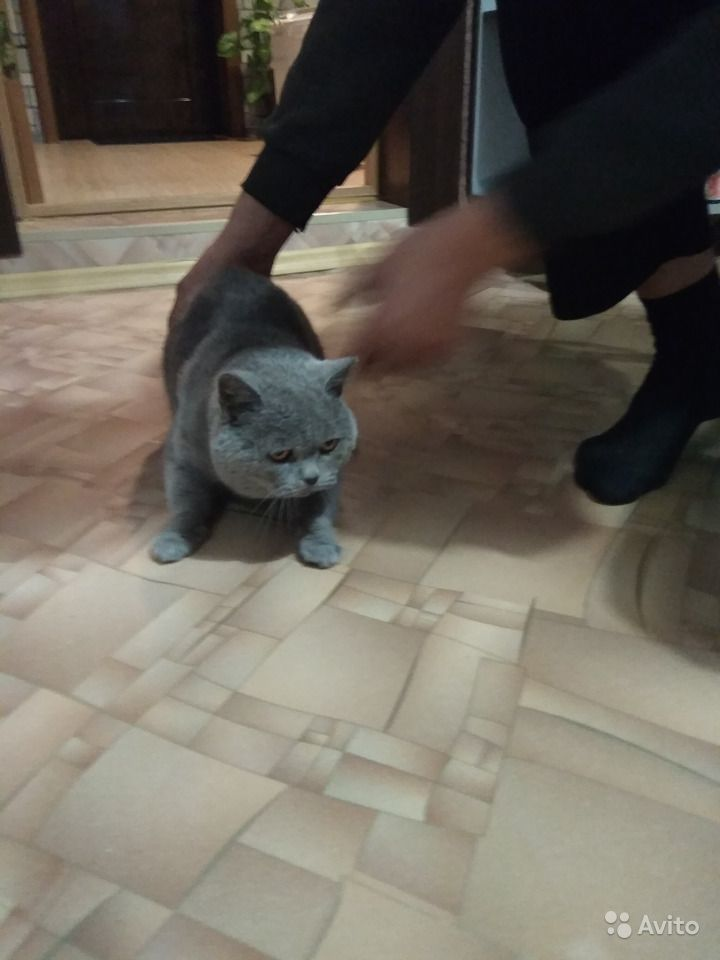 Шотландские котята в Горшечном - фотография № 6