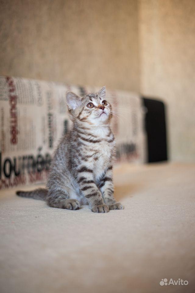 Котята шотландские в Щербинке - фотография № 6