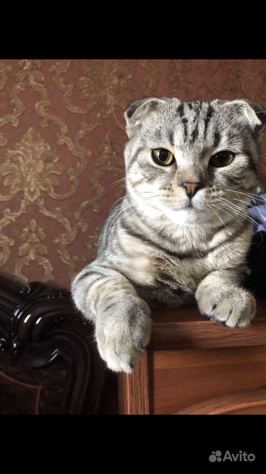 Отдам кота в добрые руки (Британец)