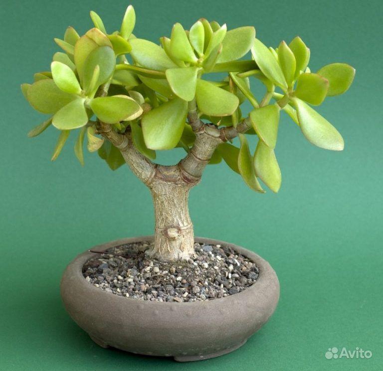 Денежное дерево (Крассула) купить на Зозу.ру - фотография № 1