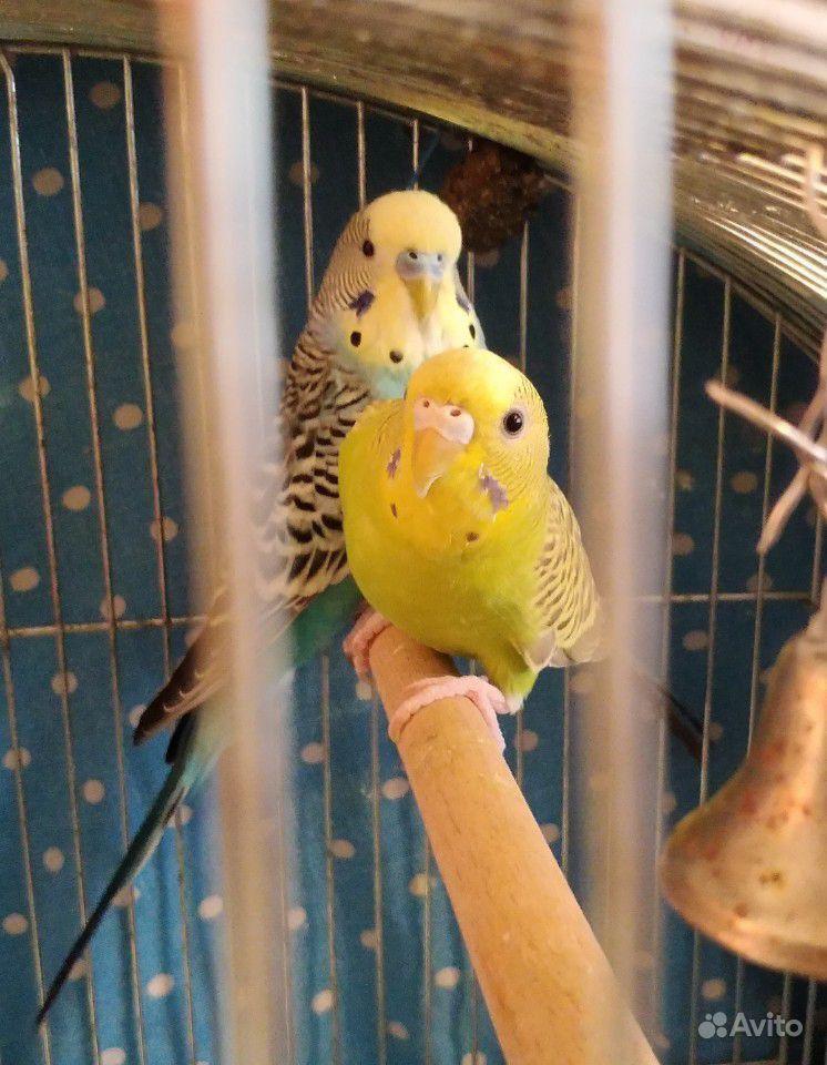 домах видом волнистые попугаи арлекины фото других народов