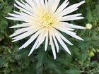 Хризантемы, с собственной теплицы, опт и