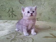 Возьму британского котенка авито