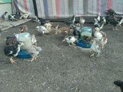 Цыплята ливенские