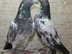 Продам голубей бакинцы(порода Пакистан) молодеж