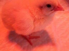 Цыплята бройлеры Росс308
