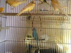Канарейки и попугай