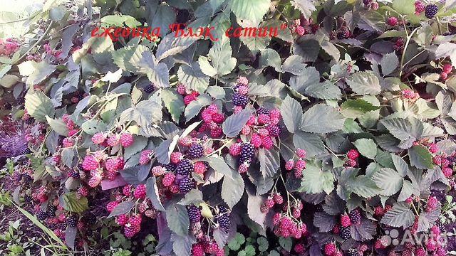 Саженцы крупномеры.Декоративные кустарники 89304712667 купить 7