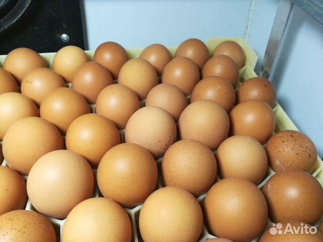 Инкубационное яйцо несушки 89272826336 купить 2