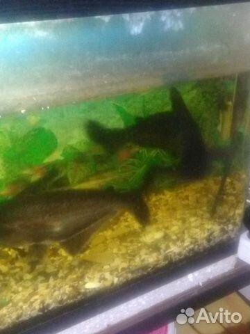 Акулий сом две рыбы