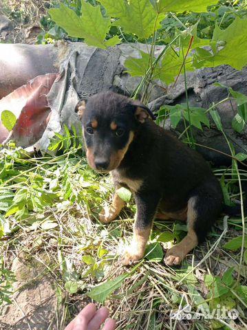 Собака  89156359877 купить 2