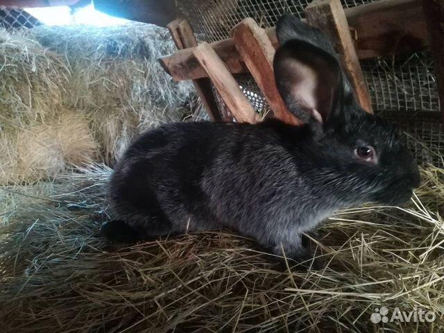 Кролики  89787432083 купить 3