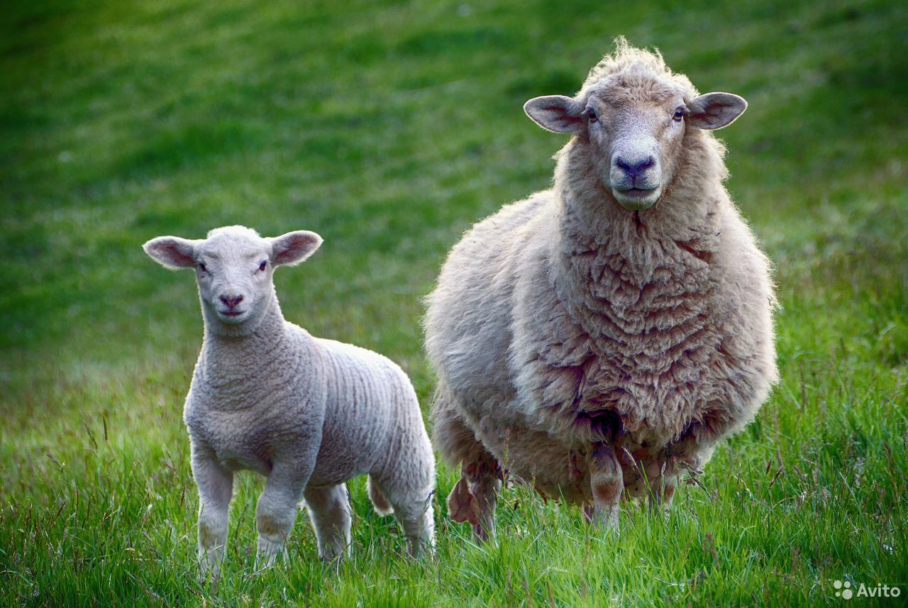 Овцы  89137240135 купить 1