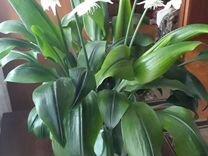 Комнатный цветок. Эухарис (амазонская лилия)