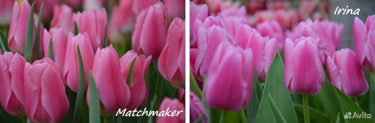 Тюльпаны  89092263980 купить 2