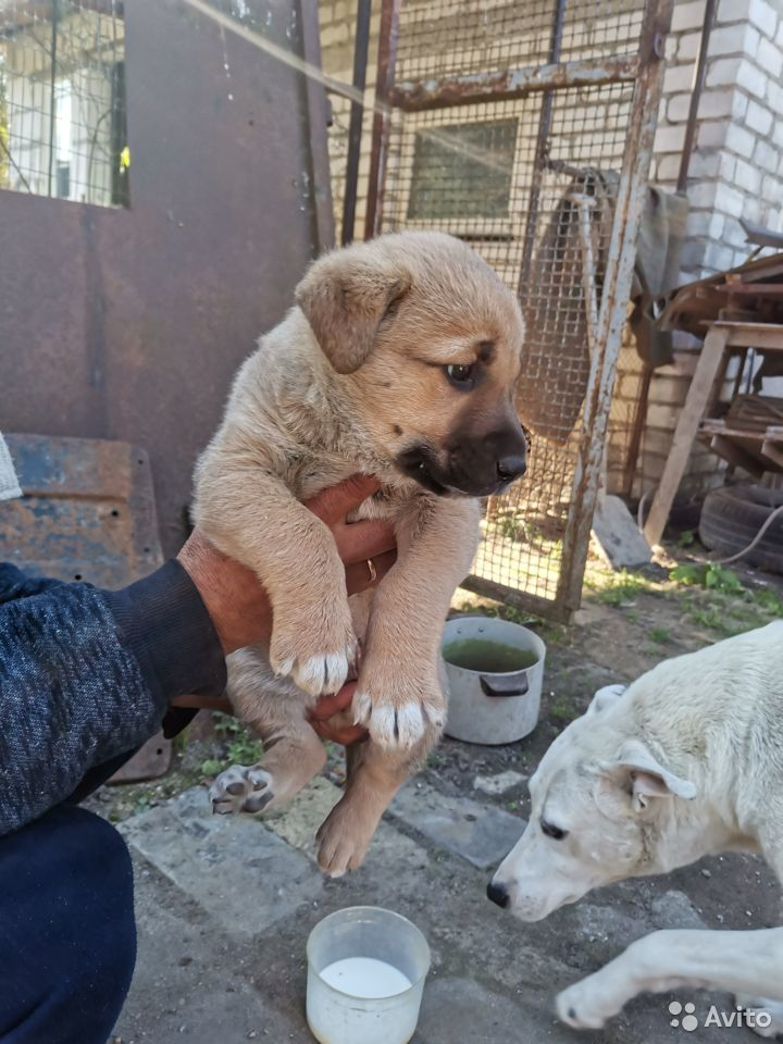 Собака  89118676240 купить 1