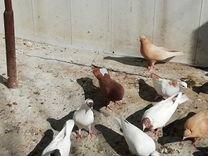 Голуби в Ессентуках у Акунц Арама