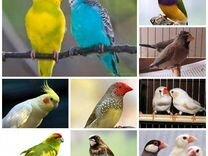 Амадины, попугаи