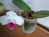 Продам подросток орхидеи