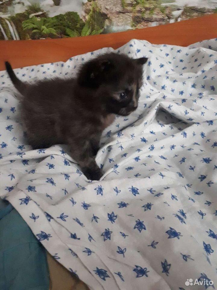 Кошка  89524089355 купить 3