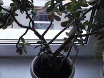 Денежное дерево — Растения в Екатеринбурге