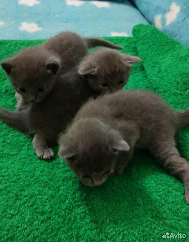 Kattungar, Russian blue katt  89149125544 köp 2