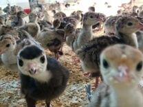 Суточные цыплята: кур, цесарок, куропаток и т.д — Птицы в Москве