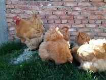 Яйцо инкубационное и цыплята породы кохинхин