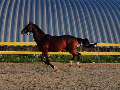 Лошадь в аренду, конкур/базовая выездка/хобби, мо