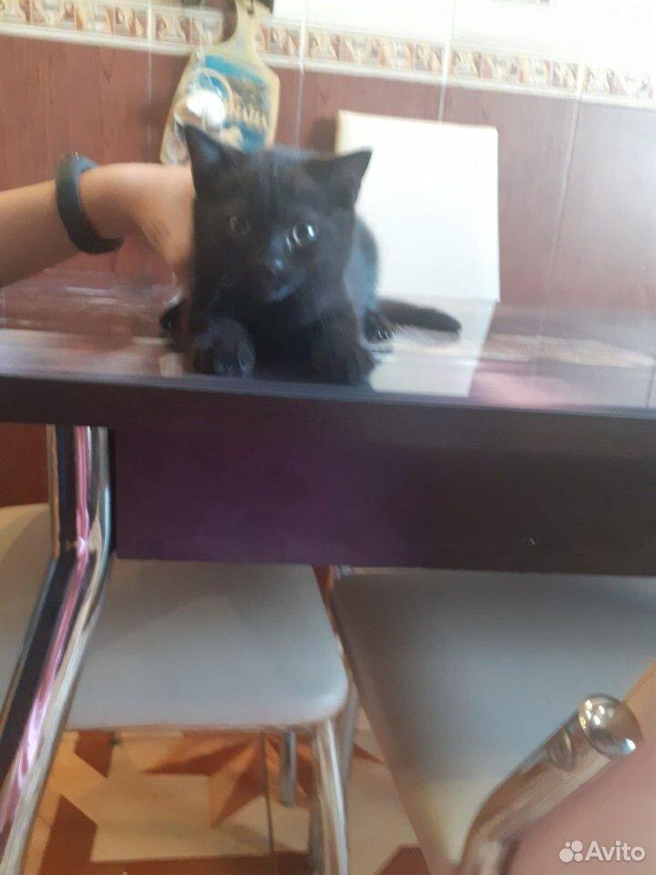 Чистокровные шотландские котята  89192207020 купить 4