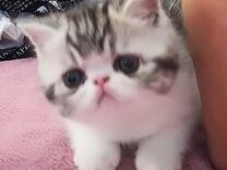 Котята экзота. Резерв