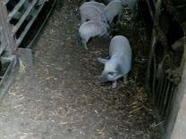 Венгерская мангалица 4 свинки 3 мес