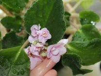 Фиалка махровая (розовый цвет)