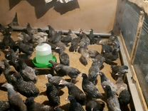 Весь сезон куры, несушки гусята, утята,бройллер