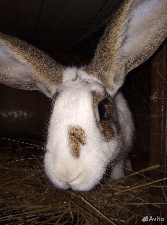 Кролики  89609924757 купить 1