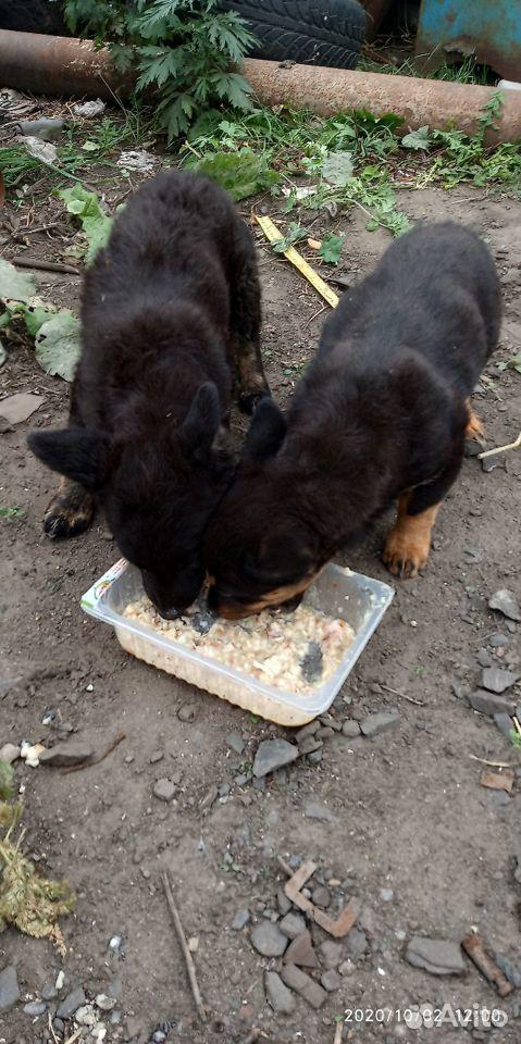 Прекрасные щенки  89308551668 купить 9