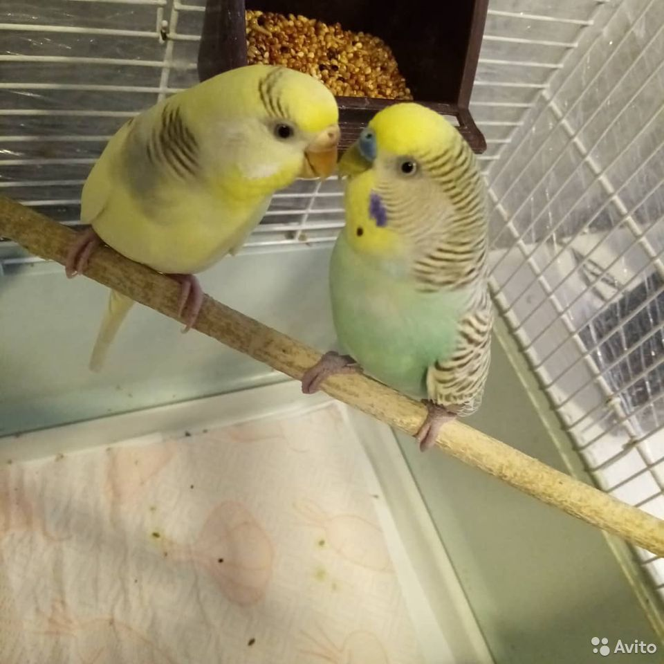 Волнистые Попугаи. М/Ж